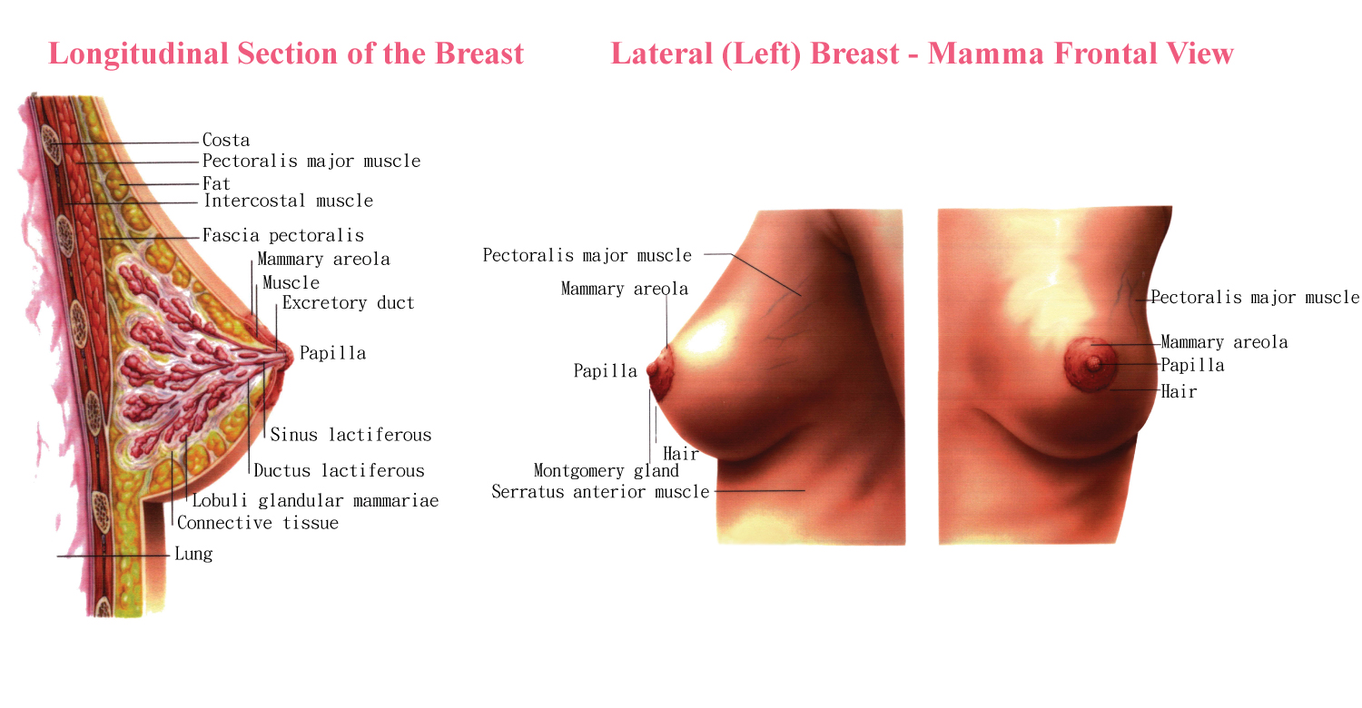 Woman Breasts Usually Extend From The Level Second Rib
